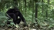 Animal Planet - In search of Florida's Killer Chimpanzees - video