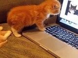 Quand des chatons regardent des chats sur un ordinateur