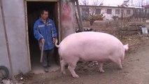 Un chino cría a un cerdo del tamaño de un caballo