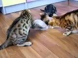 Gatitos Entretenimiento Bengala. Gatitos divertidos jugaron