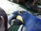Blue Parrot joue avec un bouledogue. Le chien et le perroquet