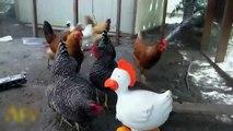 Poulet timide. poules drôles