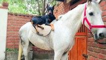 Ce que fait ce doberman avec ces chevaux est impressionnant   doberman and horse