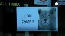 mordue à mort par un lion sauvage