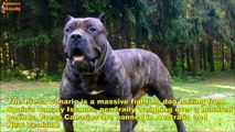 Top 10 Dangerous Dog Breeds - Banned Dogs Animals World