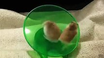 two cute hamsters, one running and other is spinning