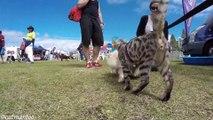 Un Chat en Visite dans une Exposition Canine rend tous les Chiens Hystériques