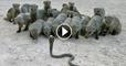 Mongoose vs cobra Snake Top 3 fighting new videos