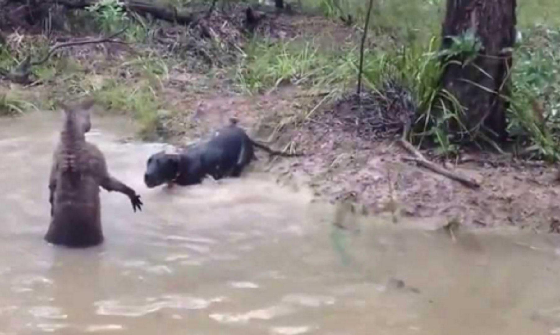 Охота, бой собаки с чупакаброй. Реальные кадры