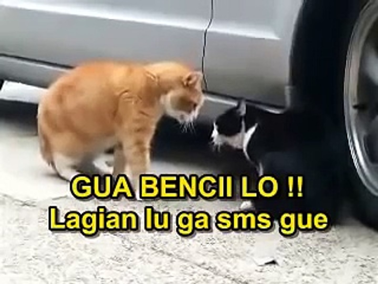 Video Lucu Kucing Berantem Asli Bikin Ngakak Video Dailymotion