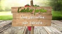 Comment réaliser la culture d'une jacinthe sur carafe ?