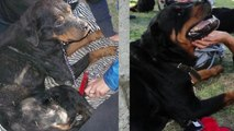 A Sick Homeless Pit Bull Gets Rescued & Makes Inspiring Transformation! PLEASE SHARE