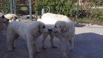 Jeunes chiens de montagne des pyrénées ou chiots patou disponibles à la Plaine d'Astrée en Provence- rhone-alpes