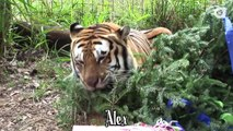 Xmas Morning in Big Cat Sanctuary: Have y`all been good kitties ?