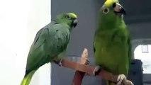 Papagaios engraçados duo. Papagaios engraçados cantar