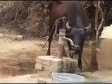 Smartest vache. vache Clever