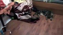 おかしいフェレットは、メインクーンを愛しています。メインのあらいぐま猫とイタチの友達