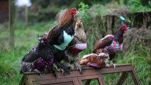 Une femme fait des pulls pour ses poules! WTF