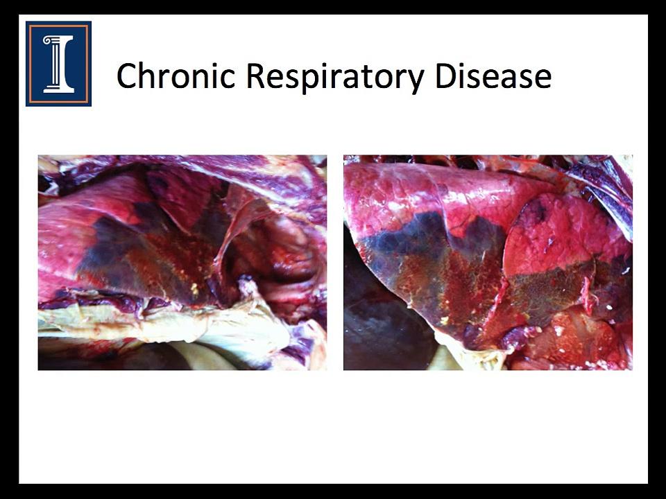 Respiratory disease & Cattle