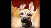 Un bébé chien tellement mignon! Adorable berger allemand aux grandes oreilles