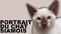 Portrait du chat de race Siamois