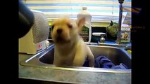 Cães e gatos odeiam secadores de cabelo. Os animais engraçados contra secador