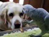 Perroquet dîner commun et un chien. Parrot et le chien manger ensemble