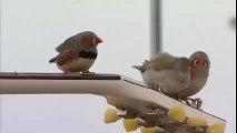 Des oiseaux jouent de la guitare au Radio Canada Arts et divertissement
