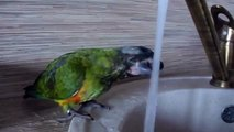 Sushnyak Mesmo um papagaio papagaios é sushnyak