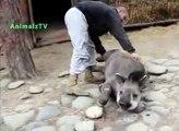 バクを撫でさするのが好き。動物園のバクで面白い動物