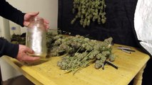 Jarring and Curring Cannabis _ Jarring and Curring Marijuana _ How to Cure Weed _ How to Jar Weed