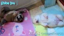Os filhotes de cachorro de Shiba Inu. Filhotes de cachorro de Shiba Inu Fun