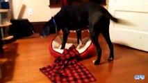 Perro grande y las camas pequeñas. Perros divertidos en pequeñas hamacas