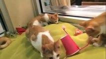 4 chat roux et un jouet étrange. Chats apprennent nouveau jouet