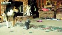 Les grands chiens jouant avec des chatons. Chiens et Chiots
