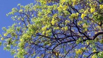 Jornal Da Arapuan -  30/11/15 - Floração de Ipês