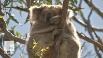 Hundreds of starving koalas are being relocated in Australia