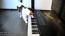 Funny Cat Rocky is a real Keyboard Cat