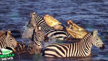 Crocodiles Attack and Eat a Migrating Zebra as it Crosses River in Kenya