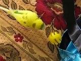 Papagaio amarelo anda e fala. papagaio engraçado