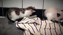 La vie de chatons. Deux chaton drôle ayant fun