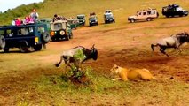 Different ways to hunt between Lion and Lioness in Africa