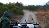 Leopardo sorprende a turistas de safari con un salto tremendo
