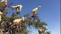 Ces chèvres vivent dans les arbres... DIngue