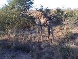 Safari Game Drive 4:  Rhino, Hippo, Giraffe, Lions, Leopard, Kapama Game Reserve, South Africa