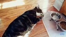 Comment chats paresseux boivent les chats drôles d'eau situées étancher la soif
