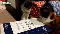 Jogo para gatos. Gatos engraçados e dedos em uma caixa