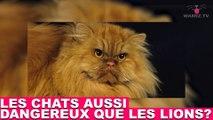 Les chats aussi dangereux que les lions? Réponse dans la minute chat #60
