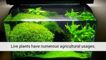 Aquarium Plants Are Turning Black Sales And Information Uk