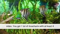 Aquarium Plants Dwarf Baby Tears Sales Uk